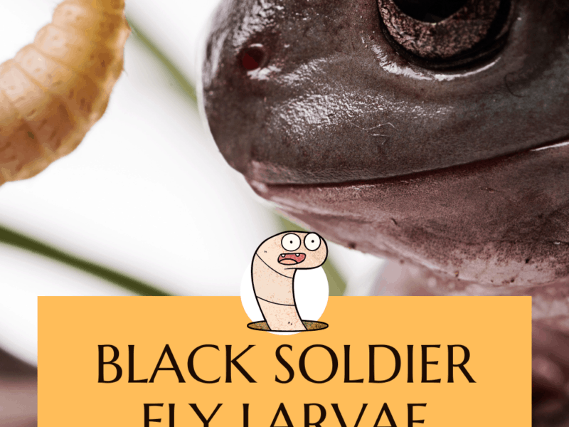 Black Soldier Fly Larvae Protein
