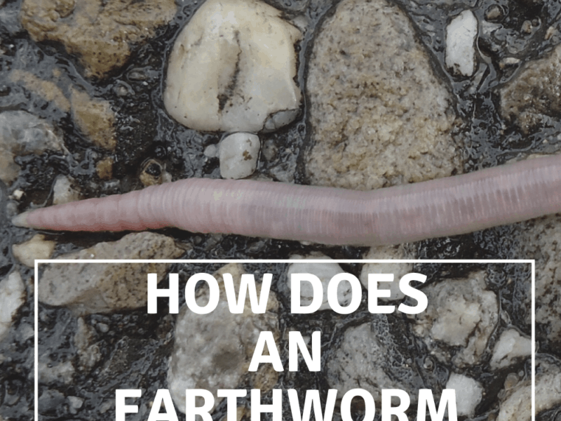 How Does An Earthworm Move