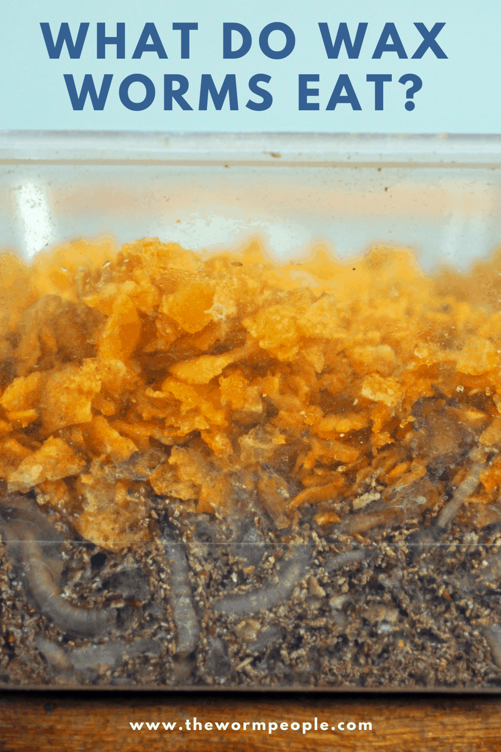 What do Wax Worms Eat