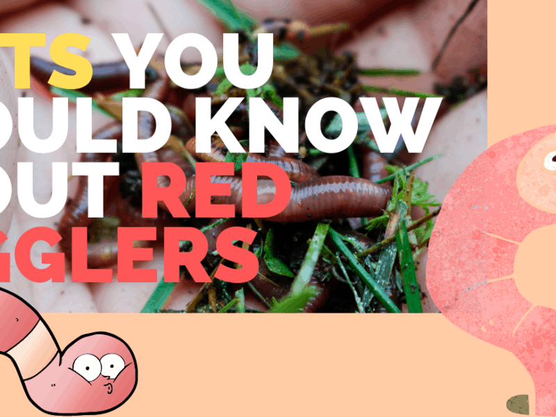 Red worm facts