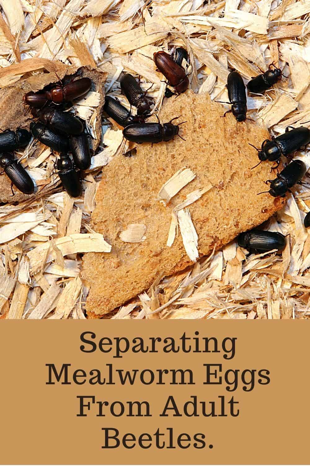 Separating Mealworm Eggs From Adult beetles