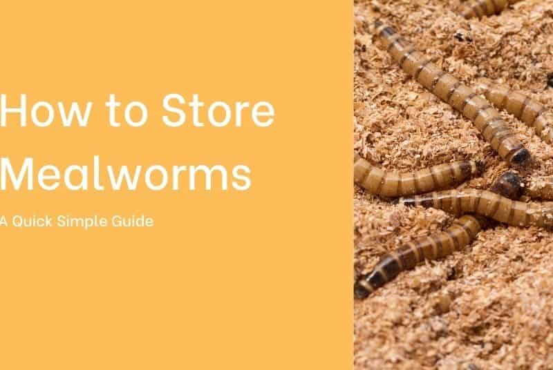 how do you store mealworms