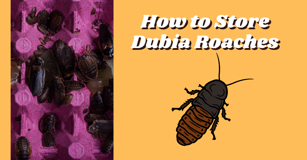 How to Store Dubia Roaches